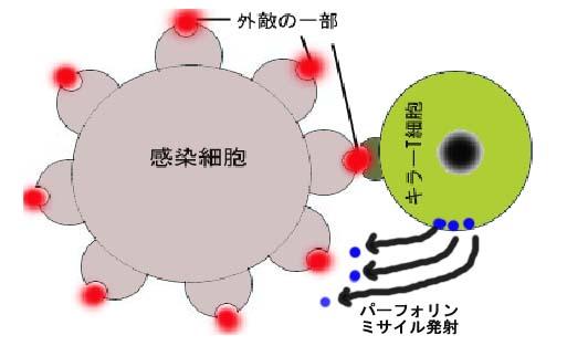 キラー t 細胞 キラーT細胞のかつやく - kasugai.ed.jp